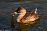Little Grebe with Fish