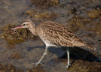 Whimbrel with Crab