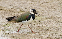Lapwing (Green Plover)