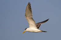 Swift Tern