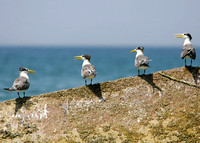 Swift Terns