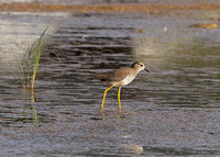 Whited-tailed Plover