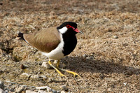 Red Wattled Plover