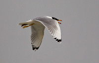 Great Black Headed Gull (Record shots only)